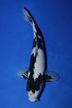 Kweker: Omosako, Variëteit: Shiro Utsur, Geb. 2015 Lengte: 35 cm Kiëta Koi Veendam