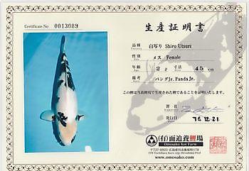 Kweker: Omosako, Soort: Shiro Utsuri, Lengte:47 cm. Geb Datum:2015, Moeder: jr. Zebra jr. Kiëta Koi Veendam