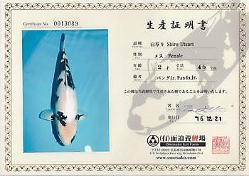 Kweker: Omosako, Soort: Shiro Utsuri, Lengte:47 cm. Geb Datum:2015, Moeder: jr. Panda jr. Kiëta Koi Veendam