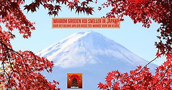 Waarom groeien koi sneller in Japan? Kiëta Koi Veendam